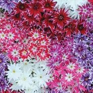 Phlox drummondii Twinkle Star Mixed - 400 seeds