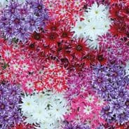 Phlox Popstars mixed appx 50 seeds