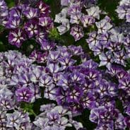 Phlox Sugar Stars 50 seeds