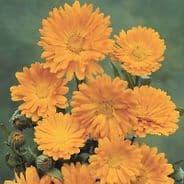 Pot Marigold - Calendula Officinalis - Appx 200 seeds