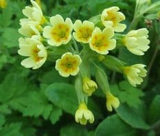 Primula vulgaris - Cowslip  Lemon/Yellow  50 seeds - Perennials