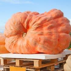Pumpkin Atlantic Giant