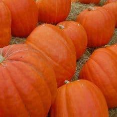 Pumpkin Big Max - 25 grams - Bulk Discounts available