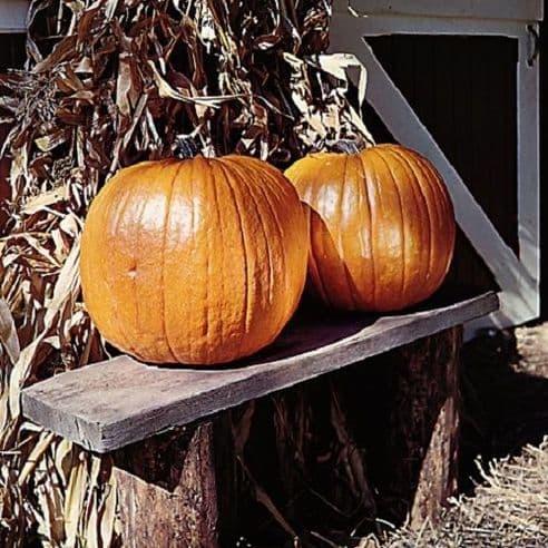 Pumpkin Connecticut Field - 25 grams - Bulk Discounts available