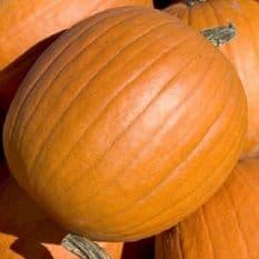 Pumpkin Mammoth - 50 grams - Bulk Discounts available