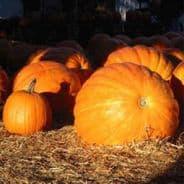 Pumpkin Rouge Vif D'etampes ' Cinderella Pumpkin '
