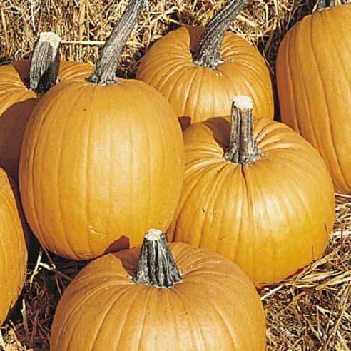 Pumpkin Tom Fox - 25 seeds