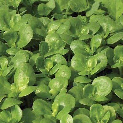 Purslane Golden - Appx 1,200 seeds - Vegetables