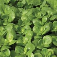 Purslane Golden - Appx 2,500 seeds - Vegetables