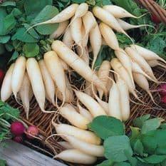 Radish Long White Icicle - Appx 200 seeds