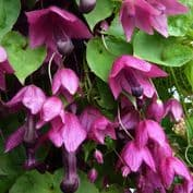 Rhodochiton atrosanguineus - Purple Bell Flower - 15 seeds