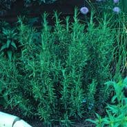 Rosemary - Appx 40 - 50 seeds