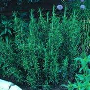 Rosemary - Rosmarinus Officinalis 5 grams - Bulk Discounts available