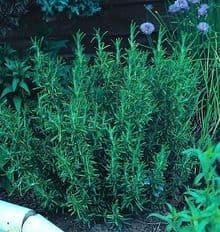 Rosemary - Rosmarinus Officinalis Appx 280 seeds - Herbs