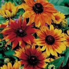 Rudbeckia Autumn colours - 30 seeds