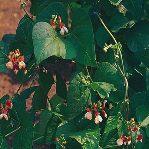 Runner Bean Painted Lady 60 seeds