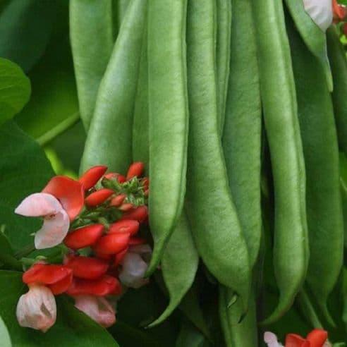 Runner Bean Tenderstar - Stringless Beans - 30 seeds
