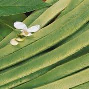 Runner Bean White Emergo -  50 seeds