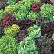 Salad /Baby Leaf