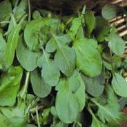 Salad Rocket - Eruca sativa - 100 grams - Bulk Discounts available