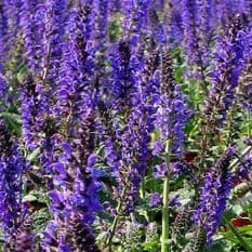 Salvia New Dimension Blue - 20 seeds