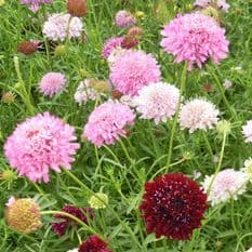 Scabious Crown Tall Mixed - 200 seeds