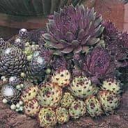 Sempervivum Species Mix - Appx 50 seeds