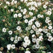 Silene Maritima - Sea Campion - 100 seeds