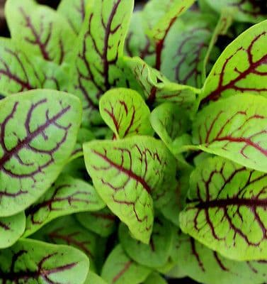 Sorrel - Red Veined Appx 100 seeds -  Vegetable seed