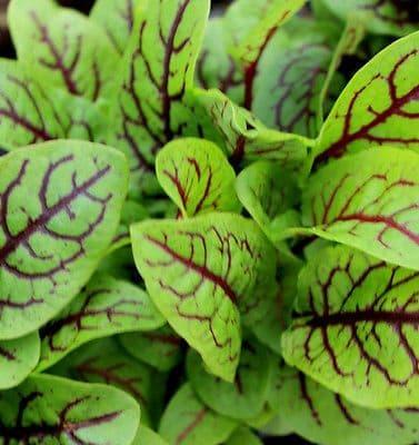 Sorrel - Red Veined Min 1800 seeds - Vegetable