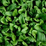 Spinach F1 Amazon - Appx 1000 seeds **Baby leaf or Cook**