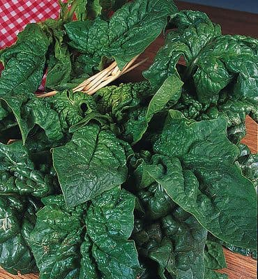 Spinach - Giant Winter Appx 500 seeds
