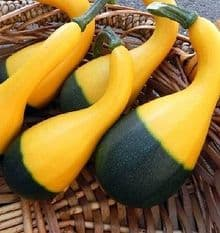 Squash Small Spoon -Appx  30 / 60 seeds