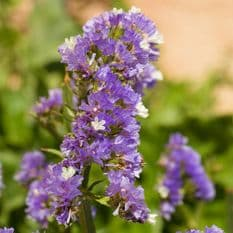 Statice latifolia - Sea Lavender - 120 seeds