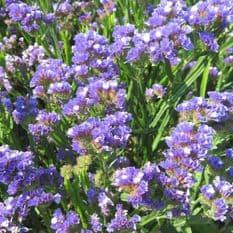 Statice Supreme Series - Blue 120 seeds