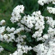 Statice Supreme Series - White 120 seeds