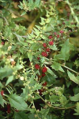 Strawberry Spinach/Sticks appx 100 seeds