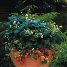 Strawberry Temptation - Basket type - 20 seeds