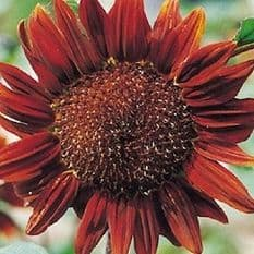 Sunflower Chocolate - 30 seeds / 60 seeds