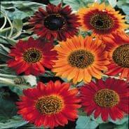Sunflower Earthwalker - 20 seeds