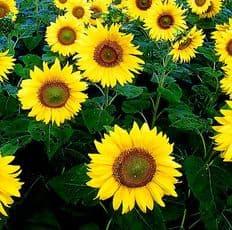 Sunflower Giant Yellow Single - 300 seeds