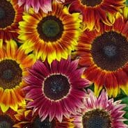 Sunflower Harlequin F1 - 25 seeds