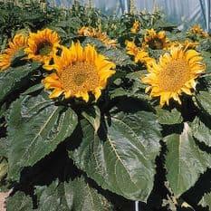 Sunflower Incredible - helianthus - 25 seeds