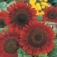 Sunflower Red Sun - Appx 160 seeds
