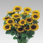 Sunflower Sonja 20 seeds - Grows to 1m