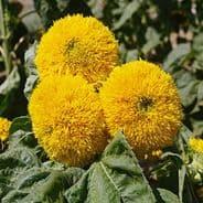 Sunflower Teddy Bear - 250 seeds