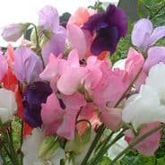 Sweet Pea - Mammoth Mixed - 30 seeds