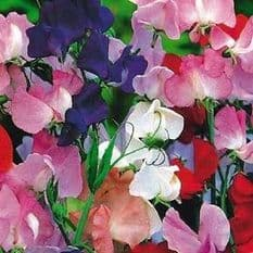 Sweet Pea Royal Family Mixed - Appx 150 seeds