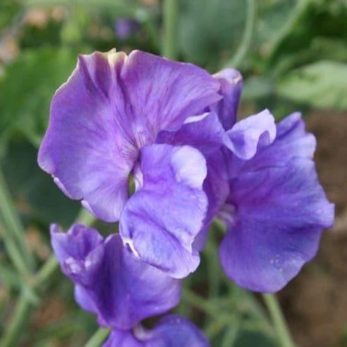 Sweet Pea - Spencer Blue Danube - 20 seeds