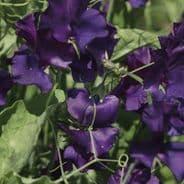 Sweet Pea Spencer - Blue Velvet - 60 seeds